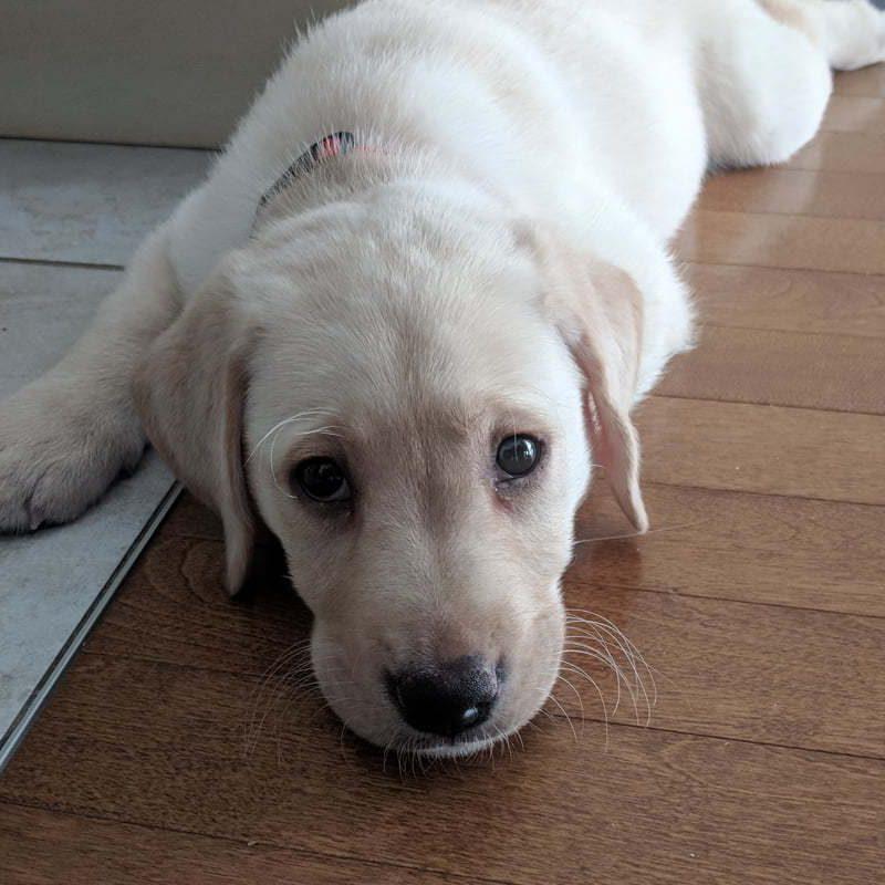 Intermède : Un nouveau chiot, Chien de race Labrador blond qu'on vient d'adopter. Bébé labrador