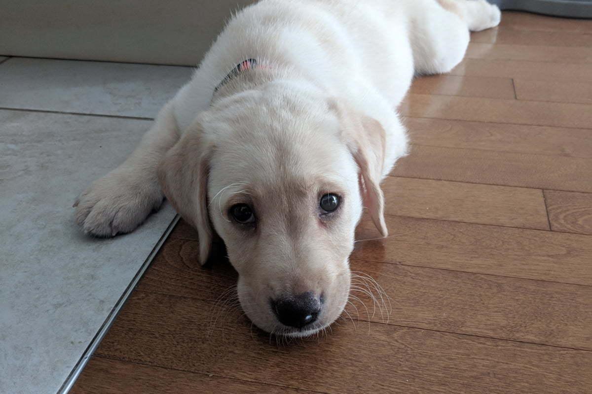 Interlude: A new puppy, a yellow Labrador-bred dog that we just adopted. Baby Labrador retriever Baby Labrador