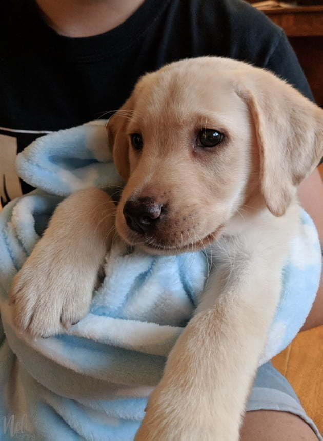 Interlude: A new puppy, a yellow Labrador-bred dog that we just adopted. Baby Labrador retriever
